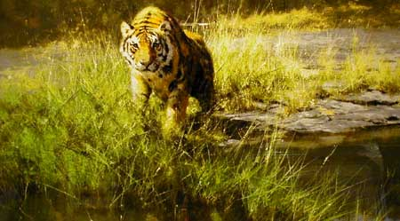 Bandipur Tiger - Painting by David Shepherd